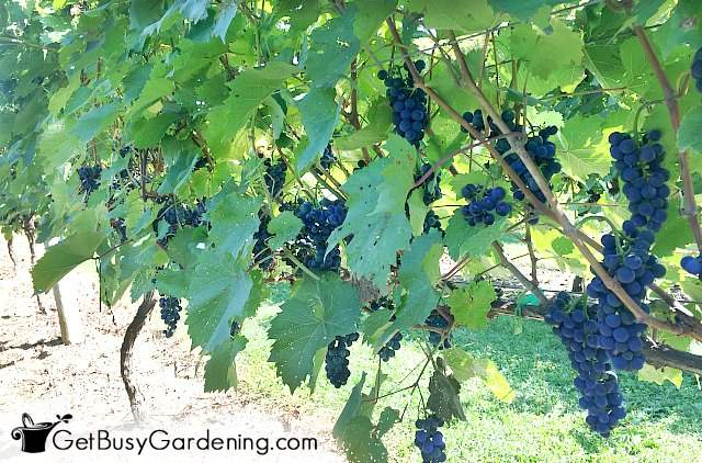 Grapes hanging from a vertical trellis