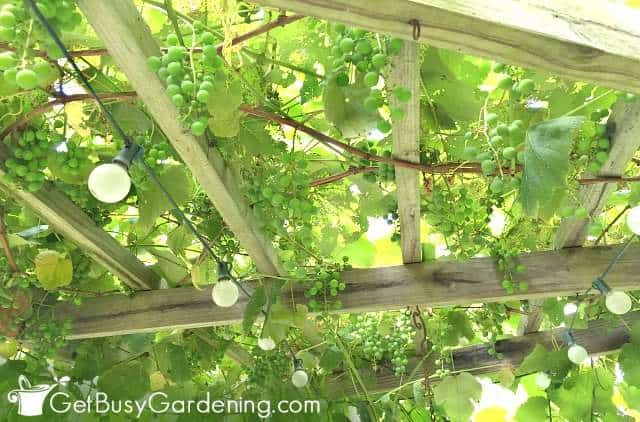 Grapes hanging down from the top of our pergola