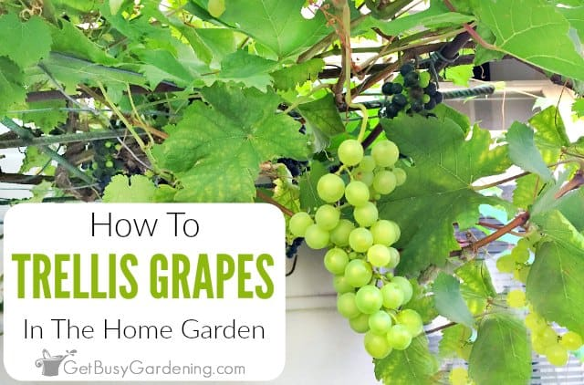 How To Trellis Grapes In Your Home Garden