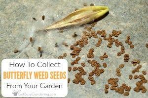 How To Harvest Butterfly Weed Seeds