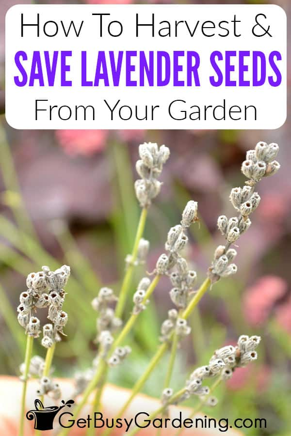 How To Harvest & Save Lavender Seeds From Your Garden