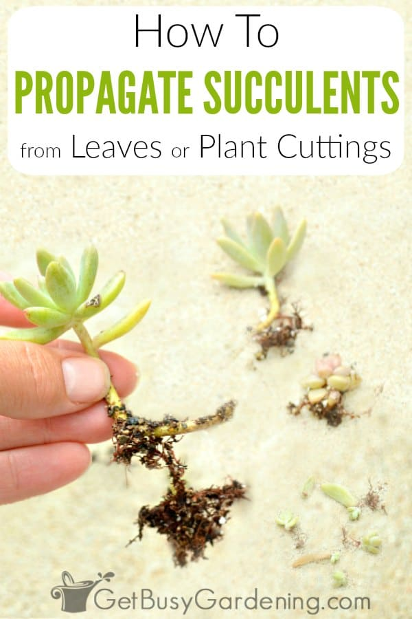 How To Propagate Succulents From Leaves Or Plant Cuttings