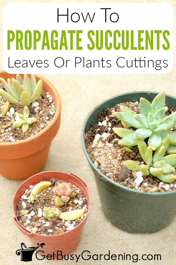 How To Propagate Succulents Leaves Or Plants Cuttings