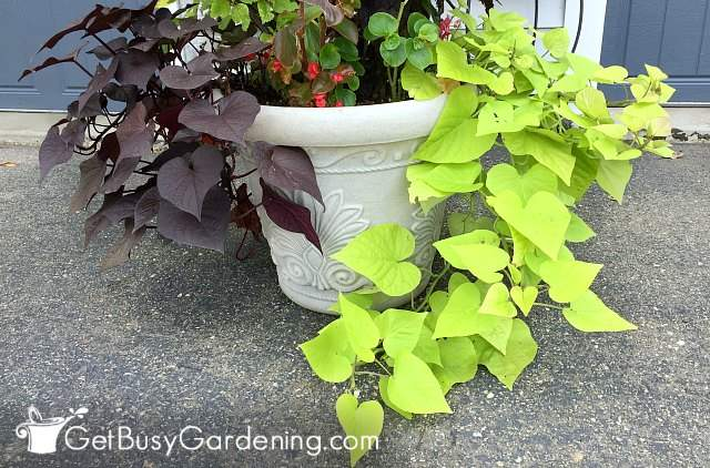 Growing different types of sweet potato vines in planters outdoors