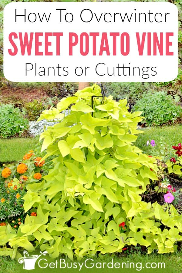 How To Overwinter Sweet Potato Vine Plants Or Cuttings