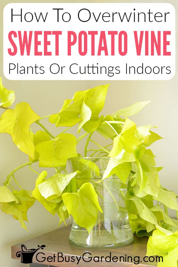 How To Overwinter Sweet Potato Vine Plants Or Cuttings Indoors