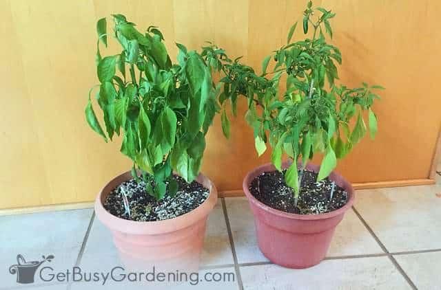 Overwintering pepper plants indoors in winter
