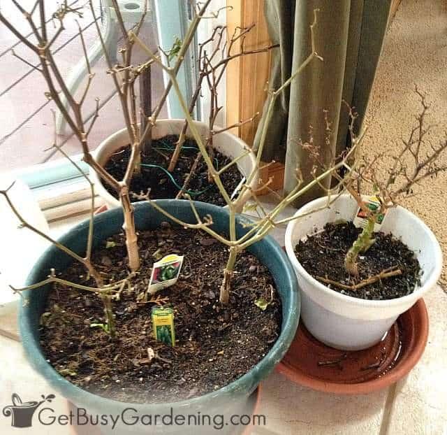 Overwintering dormant pepper plants