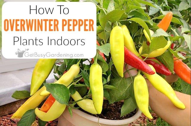 How To Overwinter Pepper Plants Indoors