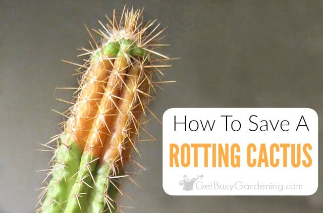 How To Save A Rotting Cactus