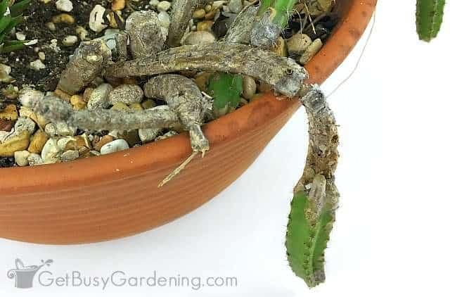 Cactus rotting bottom up