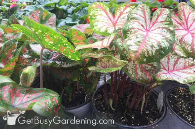Caladiums planted in pots