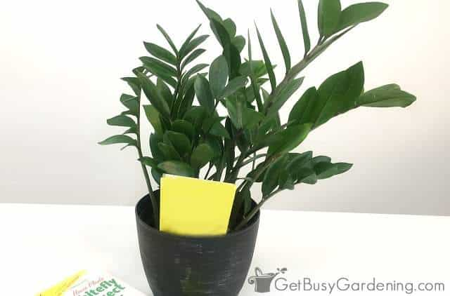 Non-toxic sticky traps kill flying houseplant bugs