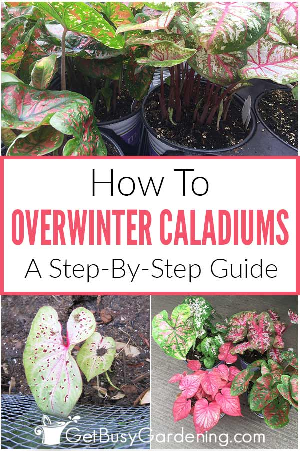How To Overwinter Caladiums: A Step-By-Step Guide