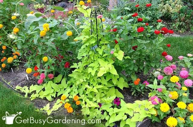Annual flowers growing in my summer garden