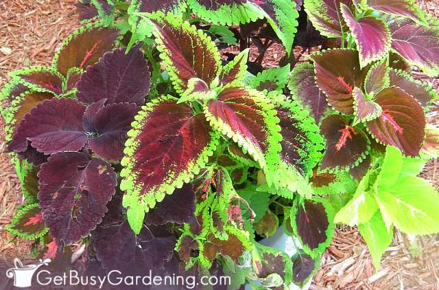 Coleus is one of the best annuals to grow from seed