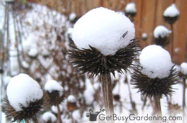 Coneflower capped with fresh snow adds winter interest