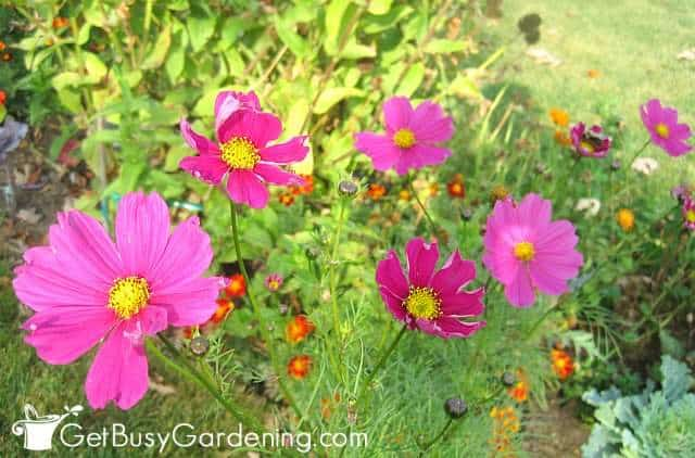 Cosmos are super easy to grow flower seeds