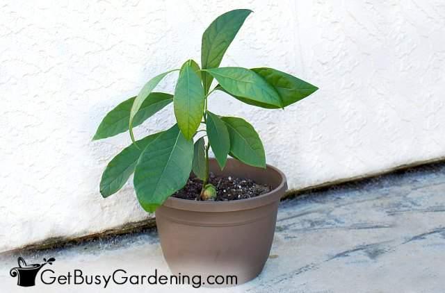 Growing an avocado tree in a pot