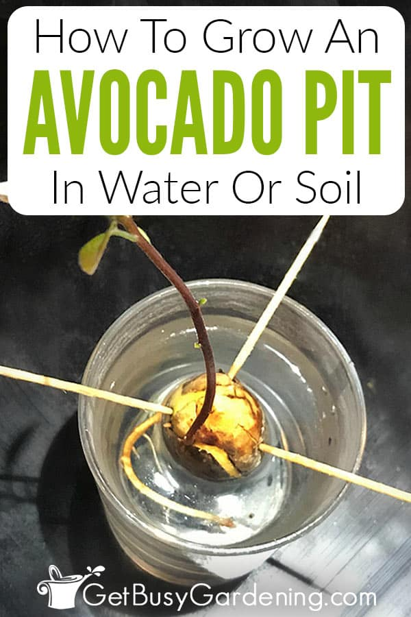 How To Grow An Avocado Pit In Water Or Soil