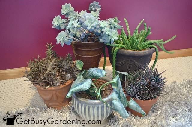 Healthy, pest free indoor plants