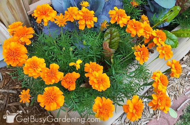 Marigold are easy plants to grow from seed indoors