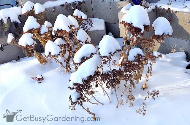 Snow-capped sedum flowers look lovely in the winter garden