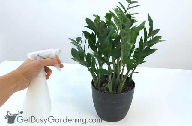 Using natural houseplant bug spray to kill plant bugs