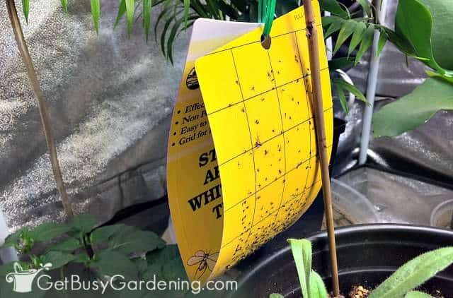 Using sticky traps to kill flying insects in houseplants