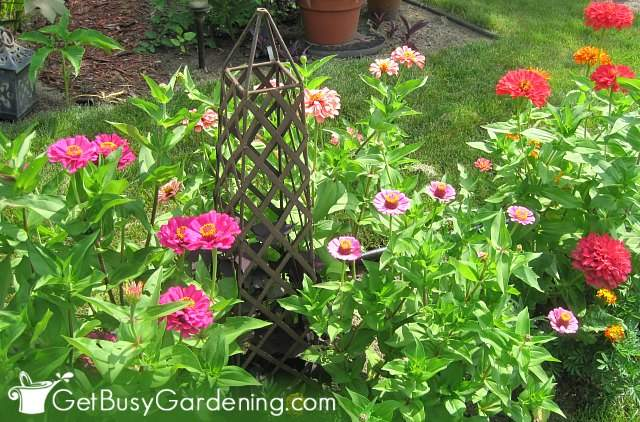 Zinnias are fast growing flowers that bloom all summer