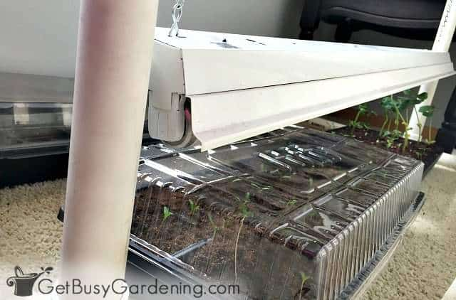 Fix leggy seedlings by putting them under lights