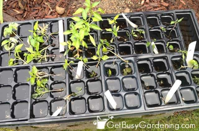Seedlings drowning in a tray after heavy rain