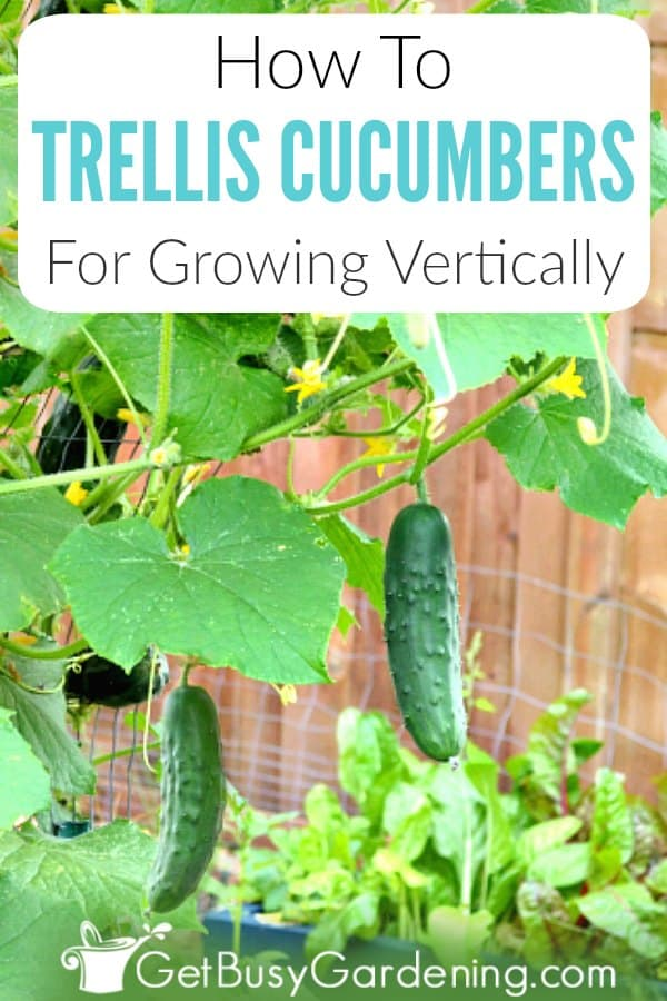 How To Trellis Cucumbers For Growing Vertically