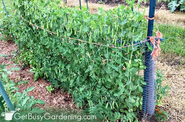Peas are one of the best vegetables for vertical gardening