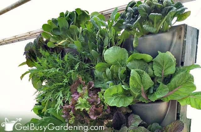 Salad greens are good plants for vertical gardens