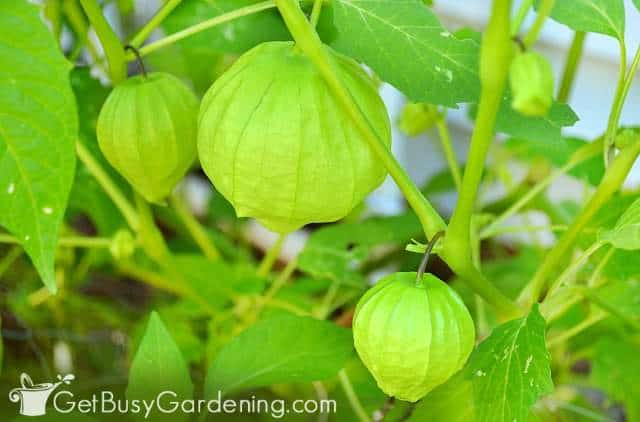 Tomatillo is one of the easiest vegetables to grow
