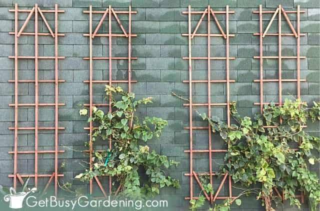 Vining perennial plants that grow vertically on a trellis