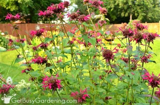 Bee balm blooming in my summer garden