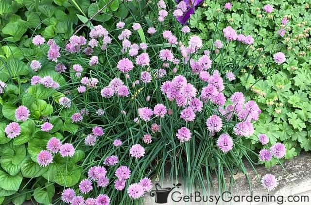 Chives blooming in a mixed perennial herb garden