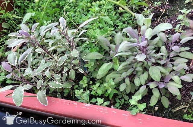 Different types of sage planted in a perennial herb bed