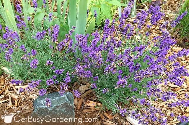 French lavender thriving in my cold climate
