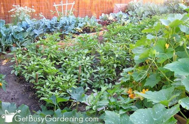 Growing vegetables at home in a basic veggie garden