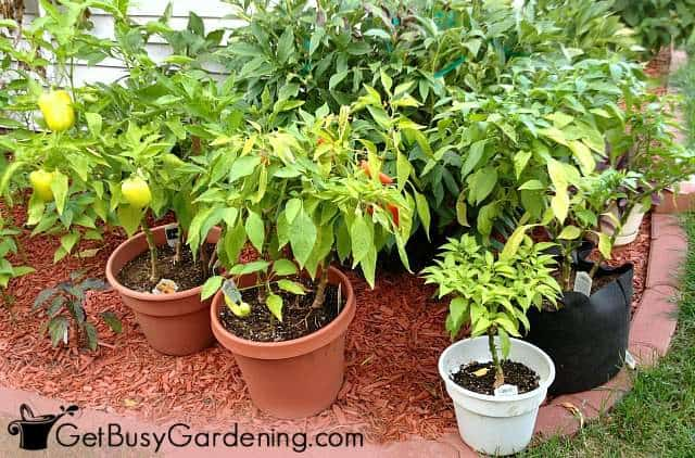 Growing veggies in pots next to the house