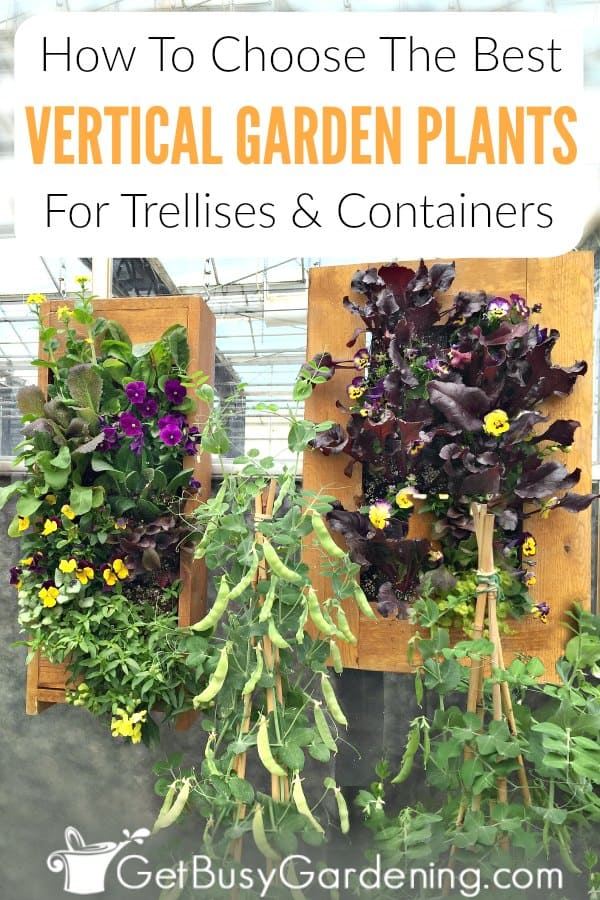 Whether you're looking for beautiful vertical garden plants to climb a trellis or fence, create privacy screens, for hanging balcony, deck or patio pots, a picture frame or wall art, you have tons of awesome options! From flowers and herbs, to vegetables or succulents there's a perfect plant for all vertical growing spaces. Learn the difference between climbers and non-climbers, get ideas for each, and find out how to choose the best plants for a vertical garden.