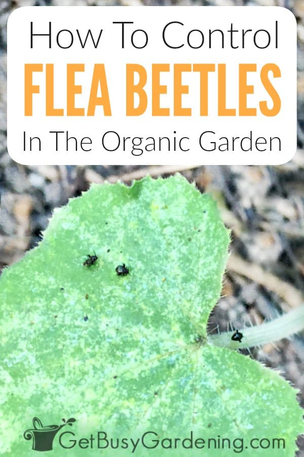Flea beetles are one of the most frustrating garden insects to get rid of. They overwinter in leaves and plant debris. Then come out in early spring, and attack young seedlings, causing severe damage. Learn all about flea beetles, including what they look like, their life cycle, the type of damage they do, prevention tips, and how to control them using organic methods (no toxic pest control chemicals necessary!). Plus get answer to all your FAQs about flea beetles.