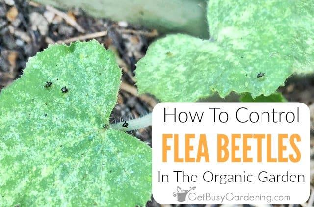 How To Control Flea Beetles In The Organic Garden