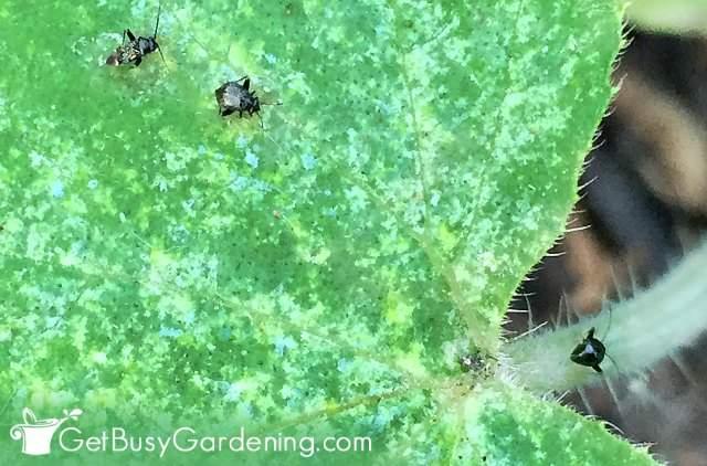 Flea beetle pests in the garden