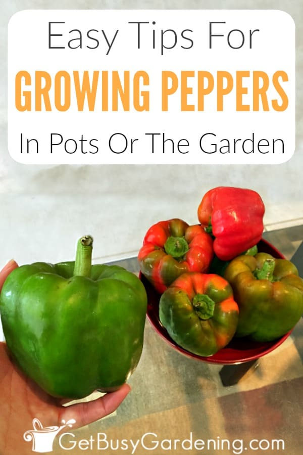Easy Tips For Growing Peppers In Pots Or The Garden