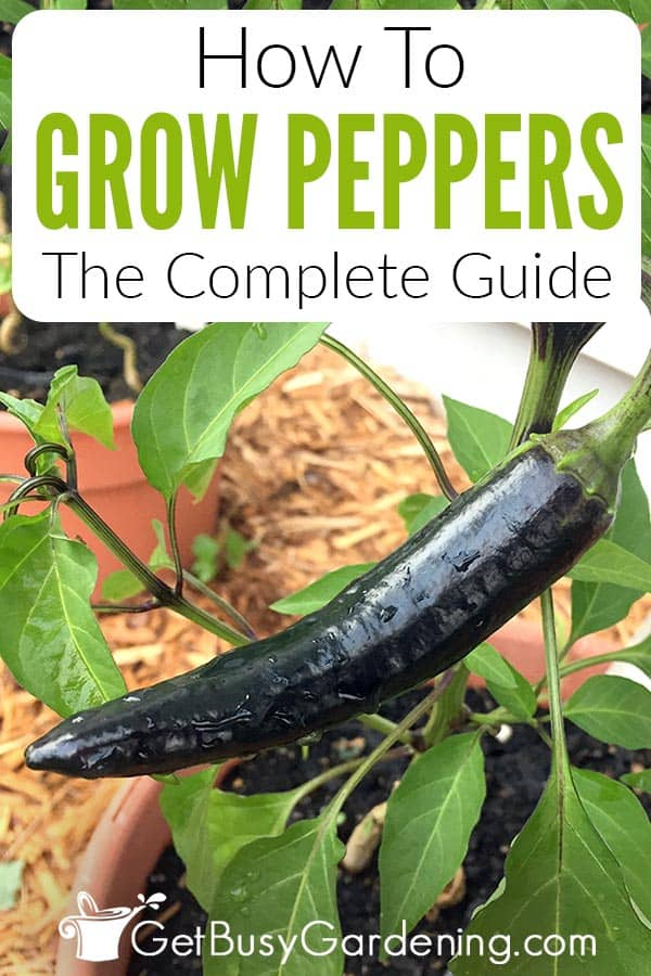 How To Grow Peppers The Complete Guide