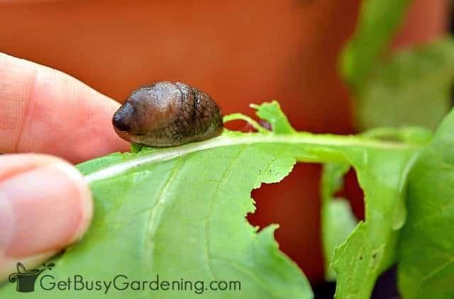 Slug curled up on vegetable plant